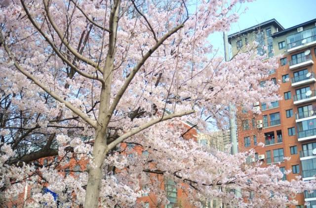 在青岛和樱花约会!中山公园赏樱攻略-旅游-北方网